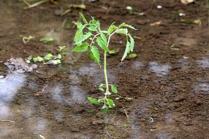 生长在被充斥的地方都市庭院外面的西红柿包围与清楚的水和湿土壤 库存图片