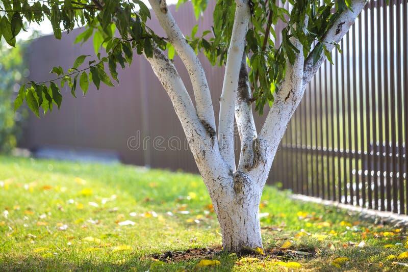 生长在被弄脏的绿色拷贝空间背景的晴朗的果树园庭院里的树被粉刷的吠声 免版税库存图片