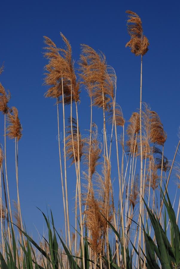 生长在西班牙的高象草的芦苇 库存照片