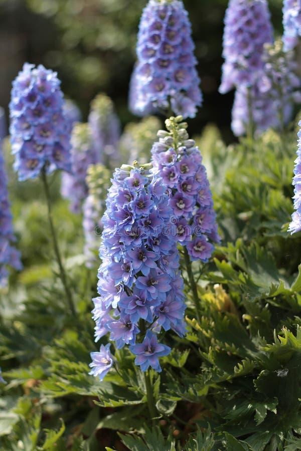 生长在阳光下的明亮的蓝色翠雀 免版税库存照片