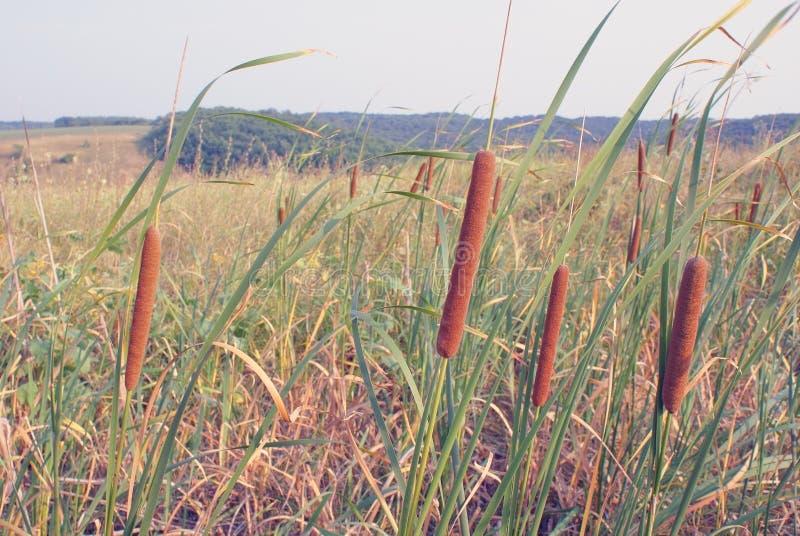 生长在领域的一株带红色纸莎草的特写镜头 库存照片