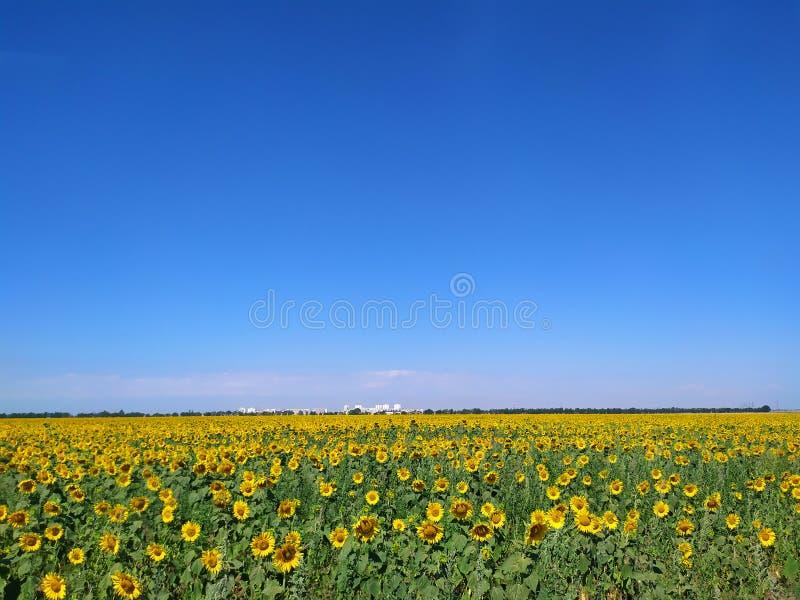 生长在领域的向日葵 库存照片
