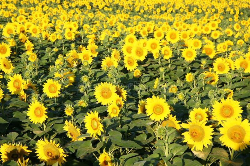生长在领域的向日葵 库存图片