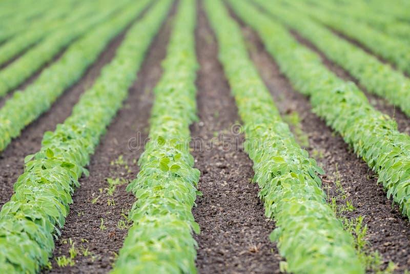 生长在领域的大豆植物 非常浅景深 库存图片