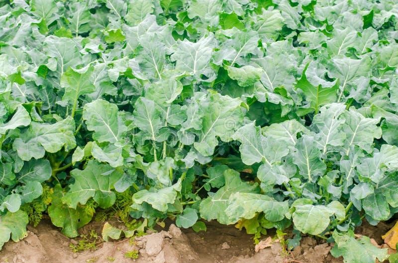 生长在领域的硬花甘蓝 新有机菜农业种田 农田 库存照片