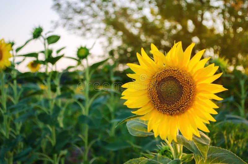 生长在领域的美丽的年轻向日葵在日落 农业和种田 农业庄稼 向日葵 ?? 免版税库存图片