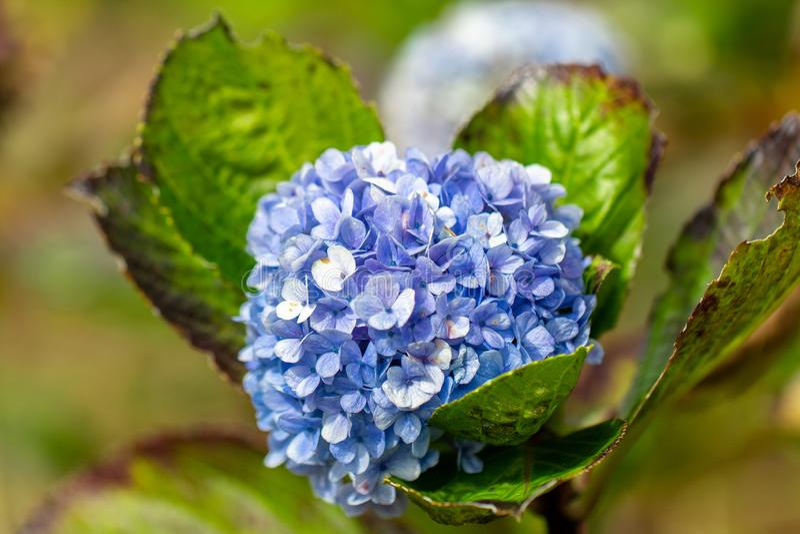 生长在领域的Mophead八仙花属 库存图片