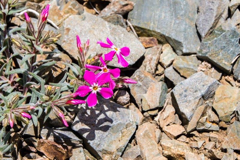 生长在高处的冷的沙漠福禄考福禄考stansburyi,在死亡谷国家公园山,加利福尼亚 库存照片