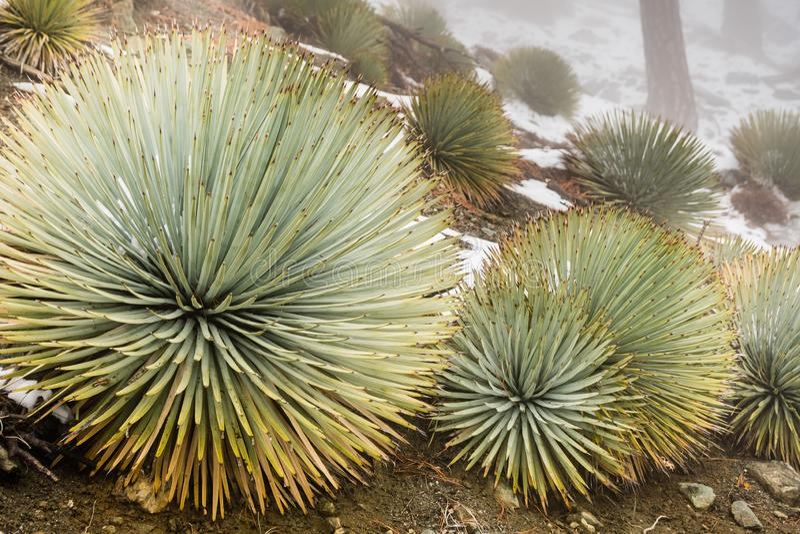 生长在Mt圣安东尼奥,在地面上的雪倾斜的丛林丝兰(Hesperoyucca whipplei);洛杉矶县, 库存照片