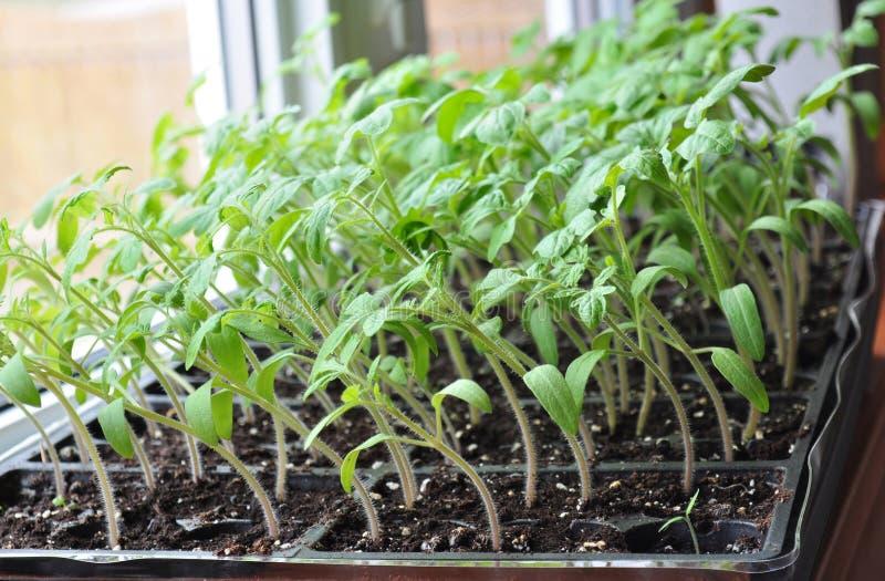 生长往在窗台的阳光的蕃茄幼木 免版税图库摄影