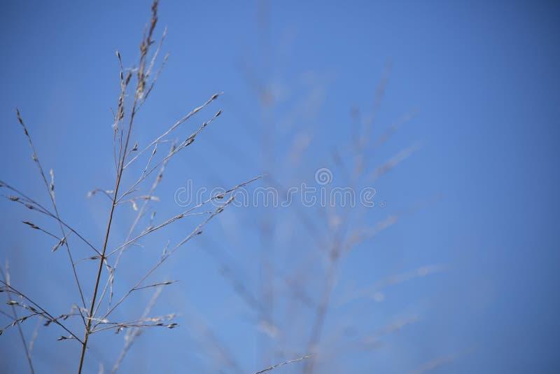 生长往天空的干杂草 免版税图库摄影