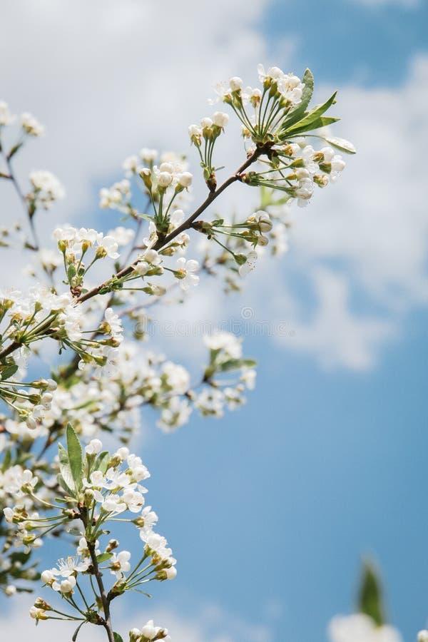 生长户外在一张花床上的一晴朗的天空蔚蓝下的樱花在一个五颜六色的季节性庭院里 图库摄影