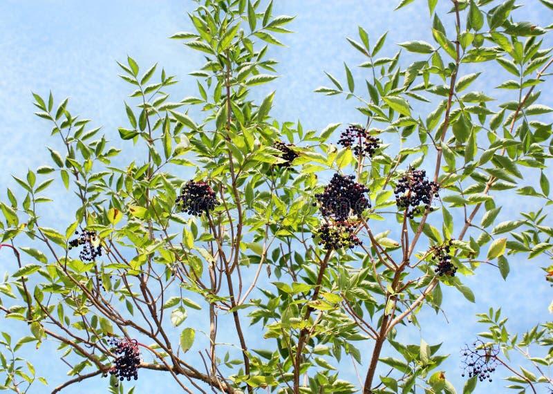 生长接骨木浆果果子 免版税库存照片