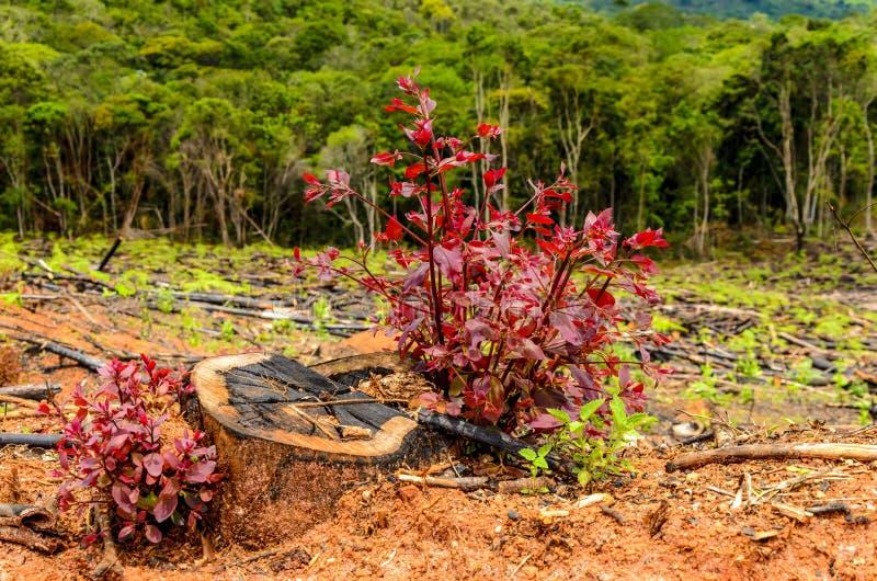 生长新的eucalipo树 新概念的生活 免版税库存照片