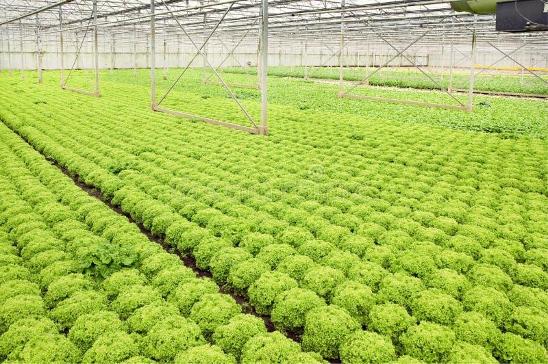 生长沙拉植物在玻璃温室 库存照片