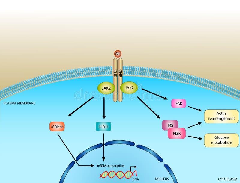 生长激素信号路 向量例证