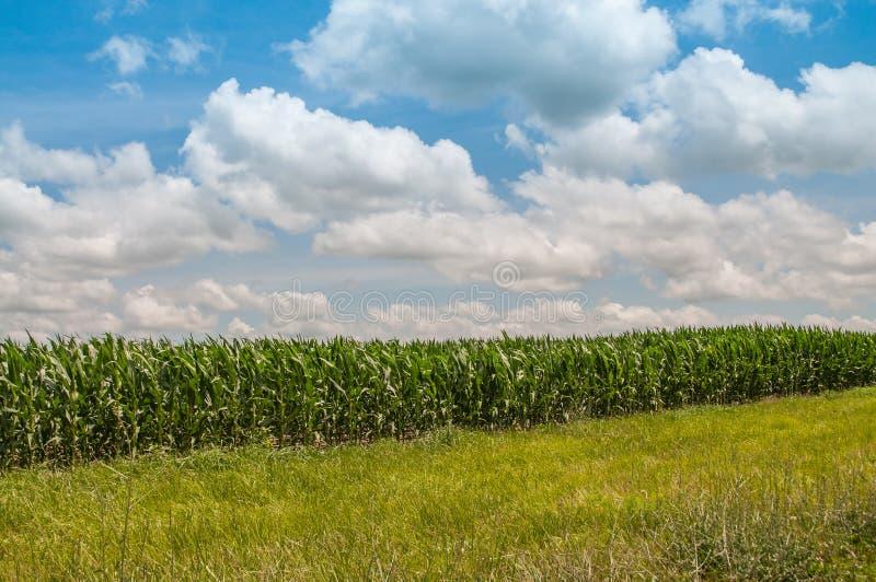 生长玉米的绿色领域 免版税库存照片