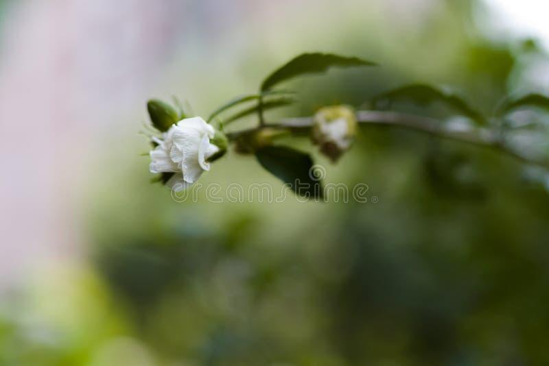 生长玫瑰在一个庭院里有迷离背景 库存图片