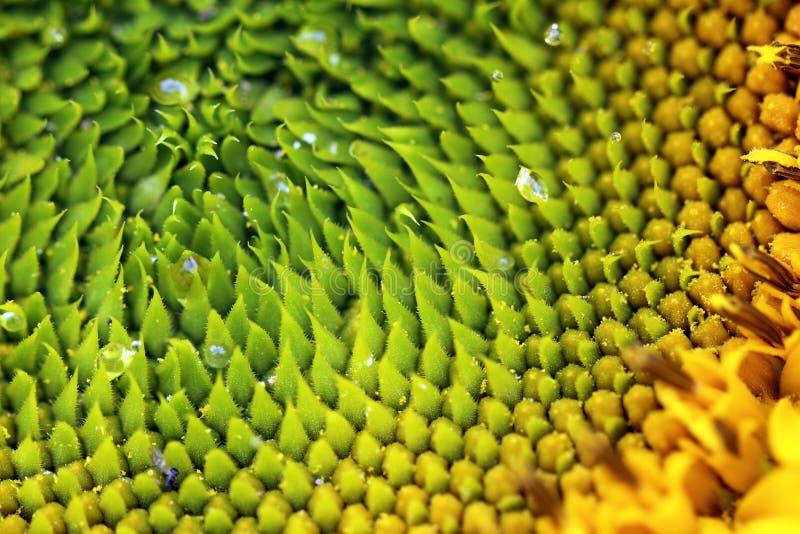 生长的向日葵种子宏观 库存图片