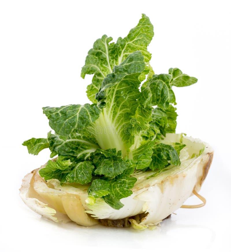 继续生长的圆白菜 免版税图库摄影
