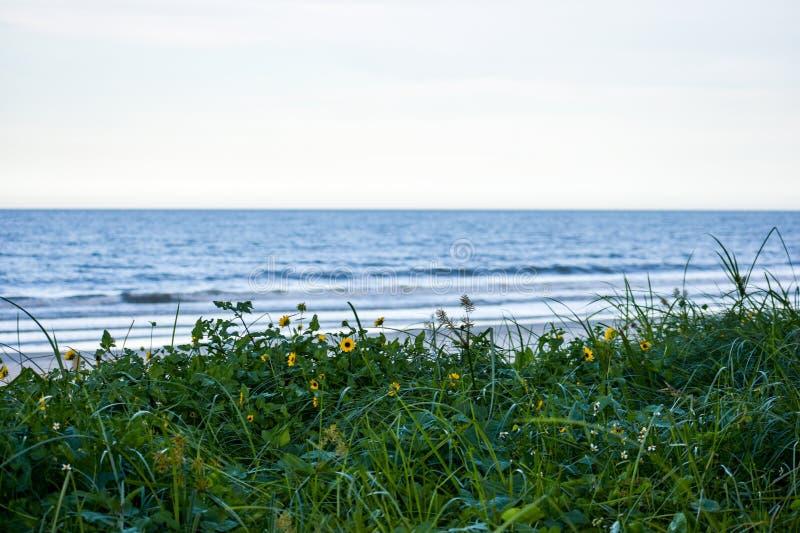 生长的雏菊狂放在沙丘沿海佛罗里达海滩在庞塞进和奥蒙德海滩,佛罗里达 库存照片