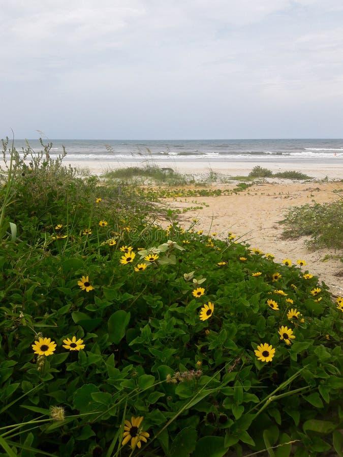 生长的雏菊狂放在沙丘沿海佛罗里达海滩在庞塞进和奥蒙德海滩,佛罗里达 免版税库存照片