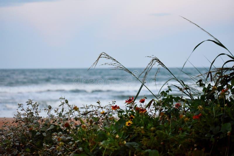 生长的雏菊狂放在沙丘沿海佛罗里达海滩在庞塞进和奥蒙德海滩,佛罗里达 库存图片