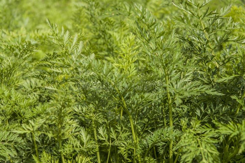 生长红萝卜年轻绿色叶子在菜园里 免版税图库摄影