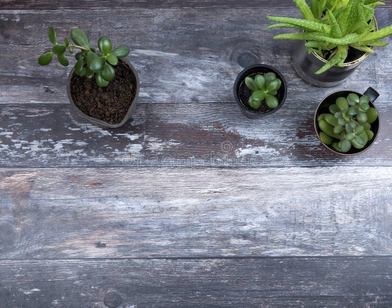 生长绿色多汁植物顶视图用在土气木背景的不同的供选择的行家植物罐与 免版税图库摄影