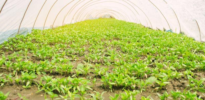 生长自温室的年轻胡椒幼木在塑料胶膜下 r ?? ?? 免版税库存照片