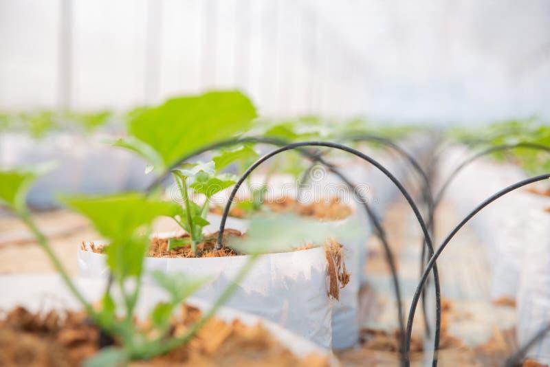 生长自温室的瓜幼木 免版税库存照片