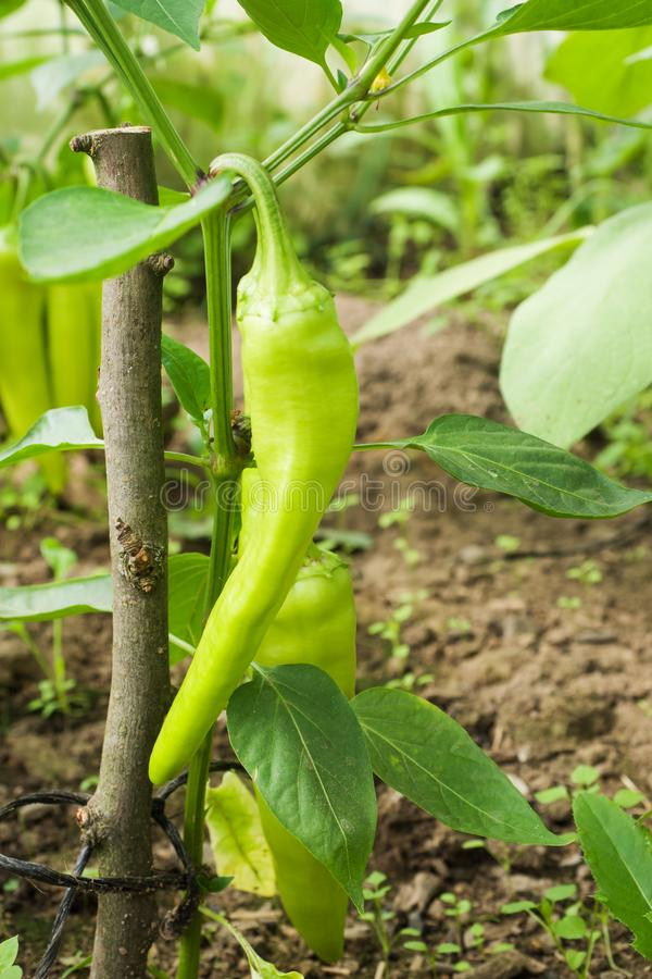 生长自温室的绿色辣子接近的看法 免版税库存照片