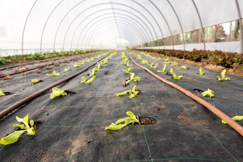 生长自温室的年轻沙拉幼木 免版税库存图片