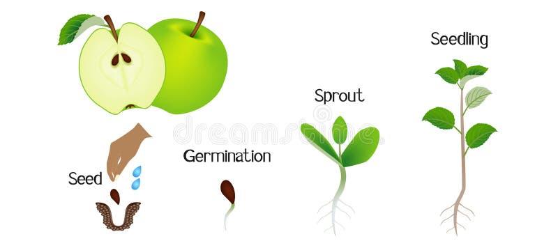 生长苹果的植物的序列隔绝在白色 皇族释放例证