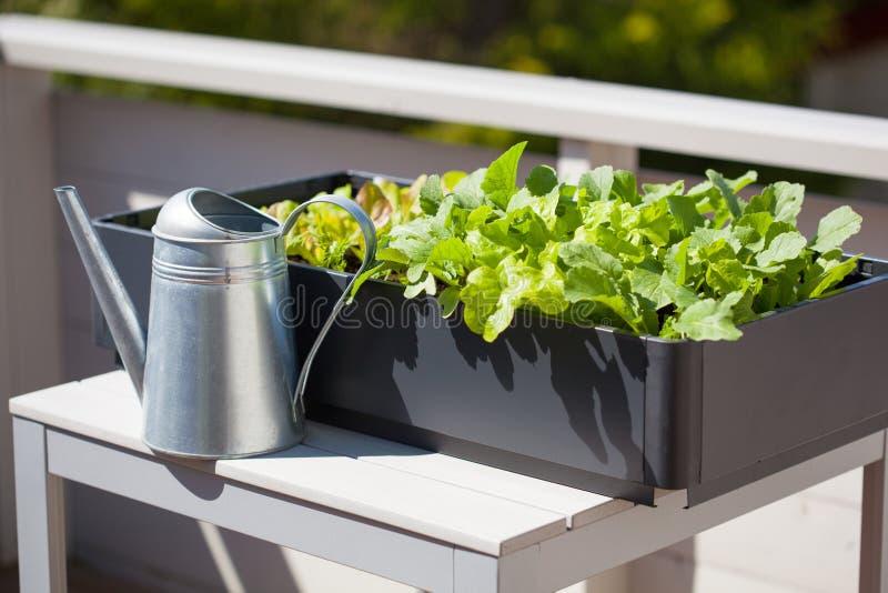 生长萝卜和沙拉在容器在阳台 菜加尔省 图库摄影