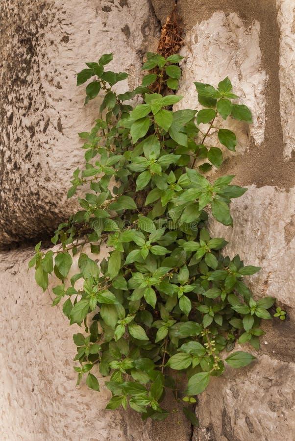 生长通过石头的绿叶 免版税图库摄影