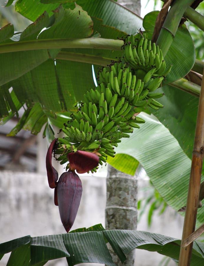 生长香蕉 免版税库存照片