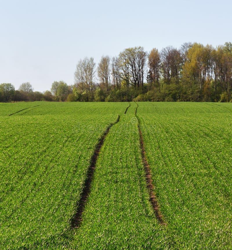 生长麦子 免版税库存照片