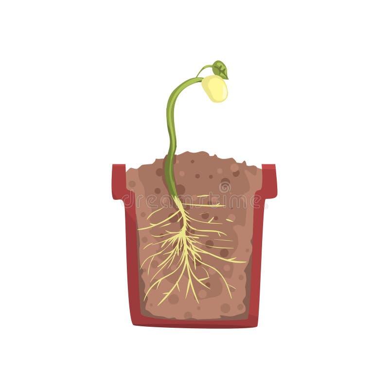 生长从一粒豆的种子的绿色植物在一个罐的有地面土壤的,成长阶段,在短剖面传染媒介的罐 库存例证