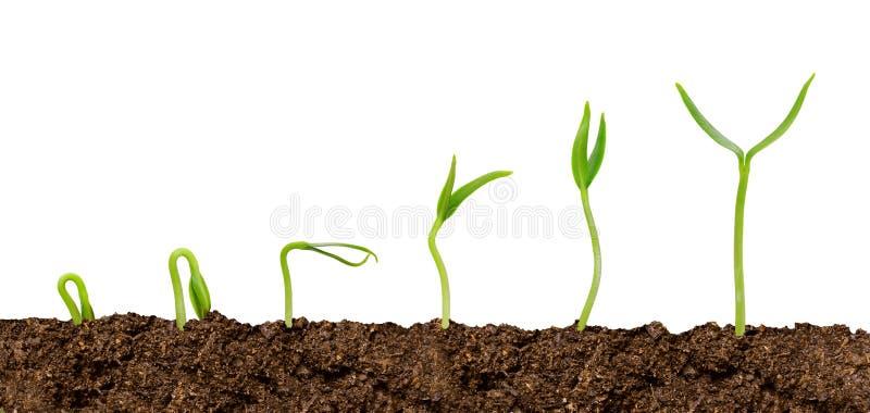 生长从土壤植物进展的植物被隔绝 免版税库存图片