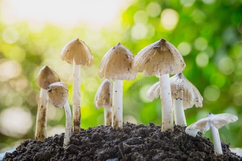 生长从土壤的新鲜的白蚁蘑菇在泰国的绿色森林里 免版税库存图片