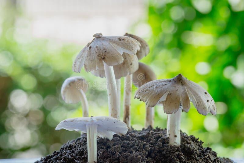 生长从土壤的新鲜的白蚁蘑菇在泰国的绿色森林里 免版税库存照片