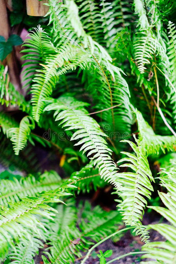 生长从地面的美丽,野生绿色植物在亚洲 免版税库存图片