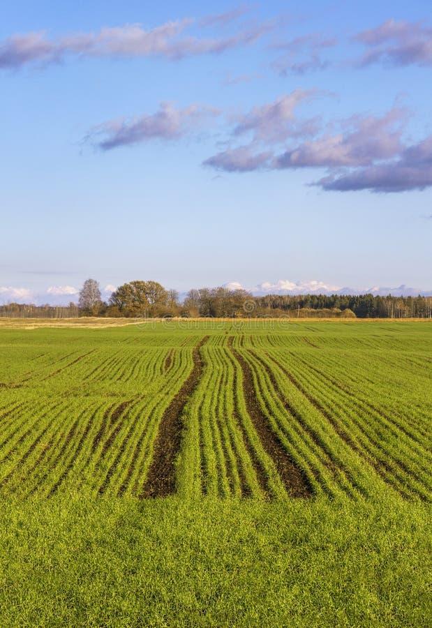 生长绿色麦子 图库摄影