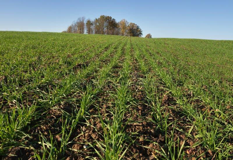 生长绿色麦子 免版税库存照片