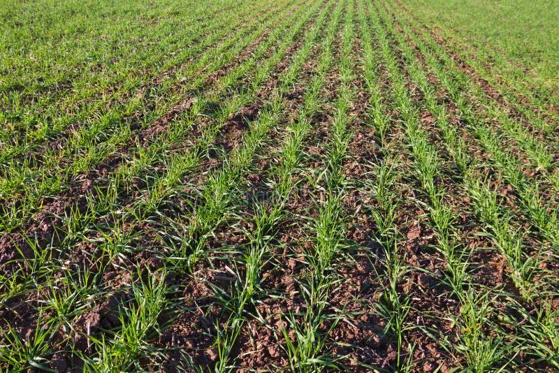 生长绿色麦子 免版税图库摄影