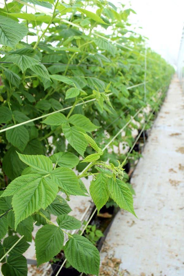 生长莓在水耕的种植园 库存照片