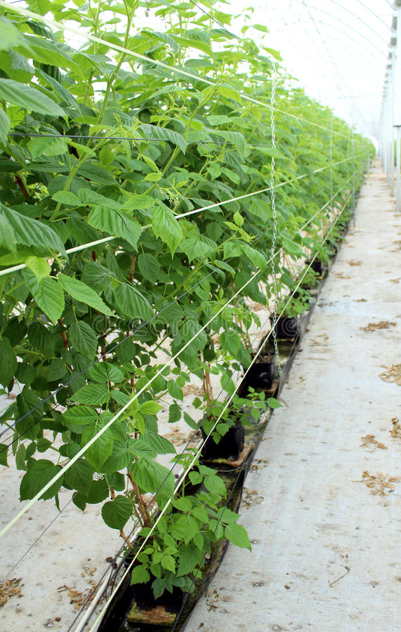 生长莓在水耕的种植园 免版税库存图片