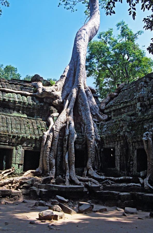 生长Ta Prohm的废墟树在吴哥窟-柬埔寨 免版税图库摄影