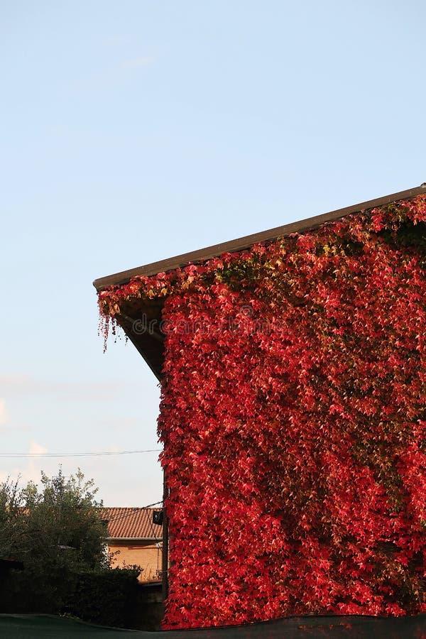 用一个加拿大藤盖的房子的门面 库存照片